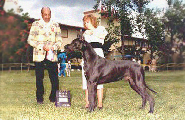Cagney - Blue Great Dane Champion