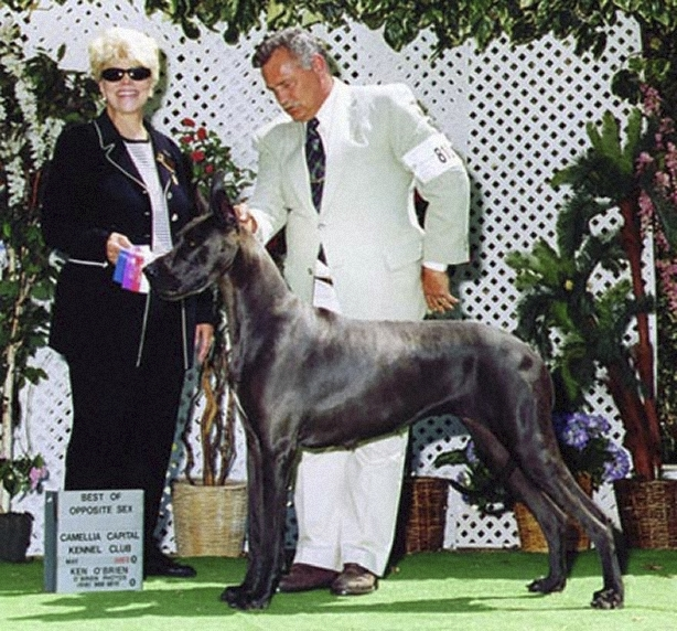 Diva - Blue Great Dane - best of