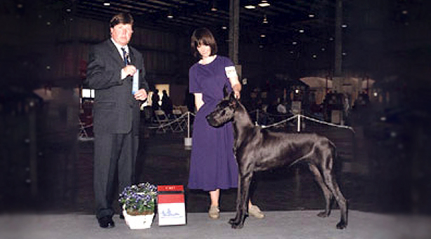 Diva - Blue Great Dane champion
