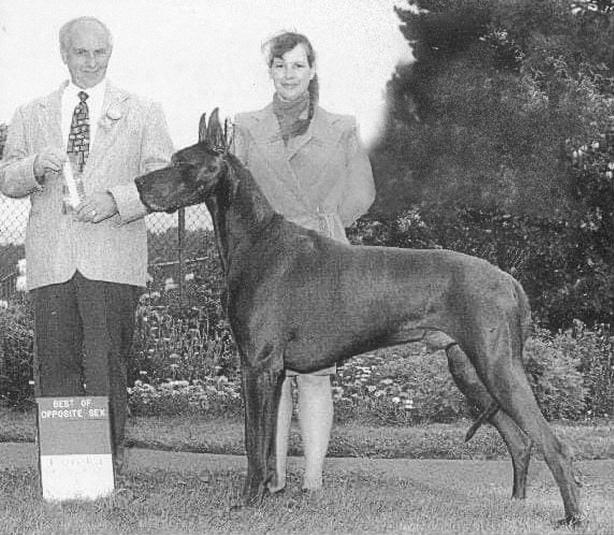 George - Blue Great Dane Champion