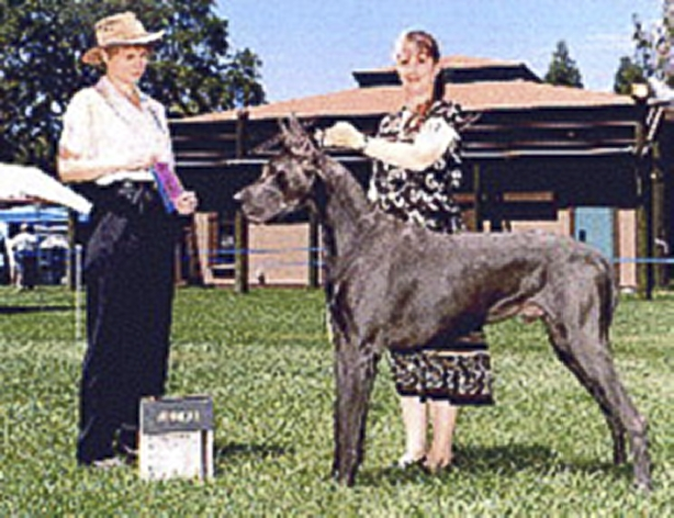George - Blue Great Dane