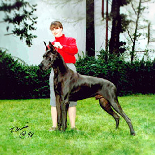 Indy - Blue Great Dane Champion