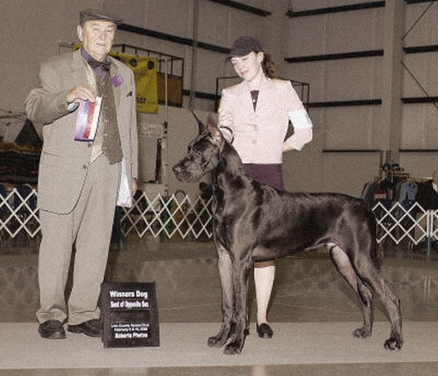 Justin - Blue Great Dane Champion