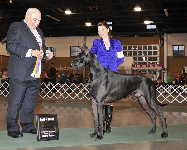 Justin - Blue Great Dane Champion best of breed