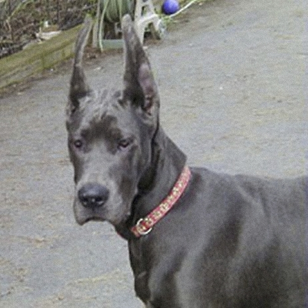 Mara Jade Blue Great Dane