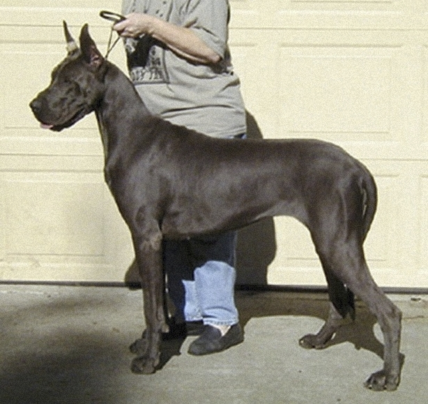 Nona Blue Great Dane
