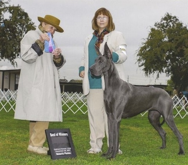 Sage - Blue Great Dane