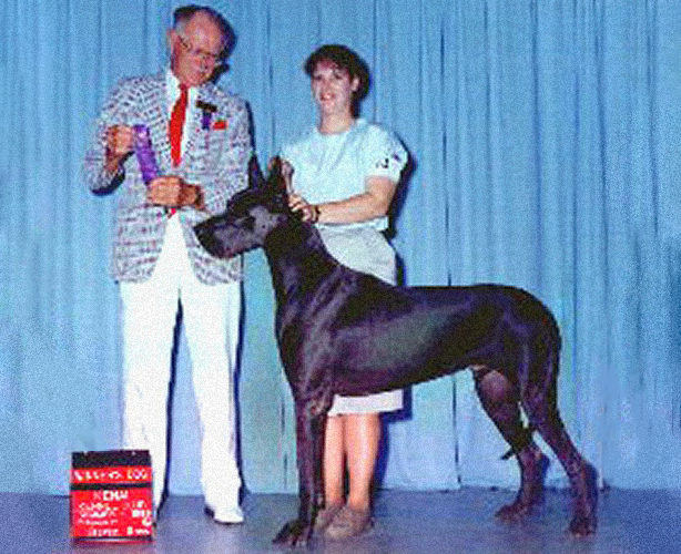 Uno - Blue Great Dane Champion