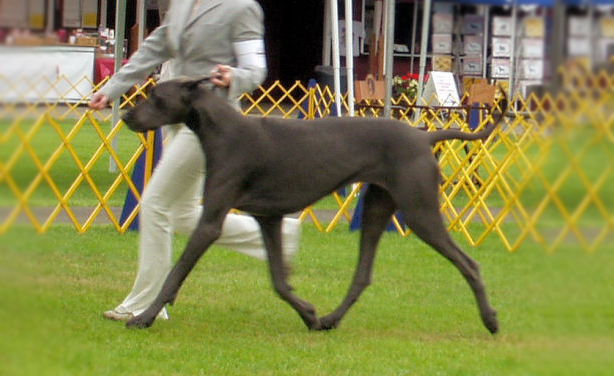 Anya - Coleridge Blue Great Dane Breeder