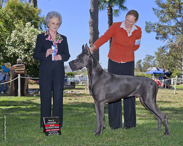 Sully - Blue Great Dane Champion